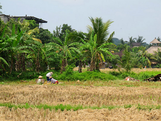 Rice farming in Bali -- it&#039;s pretty, but it ain&#039;t easy.