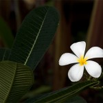 Frangipani Spa, well a flower actually but my battery died
