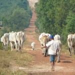 cows on dirt road, Sihanoukville Cambodia