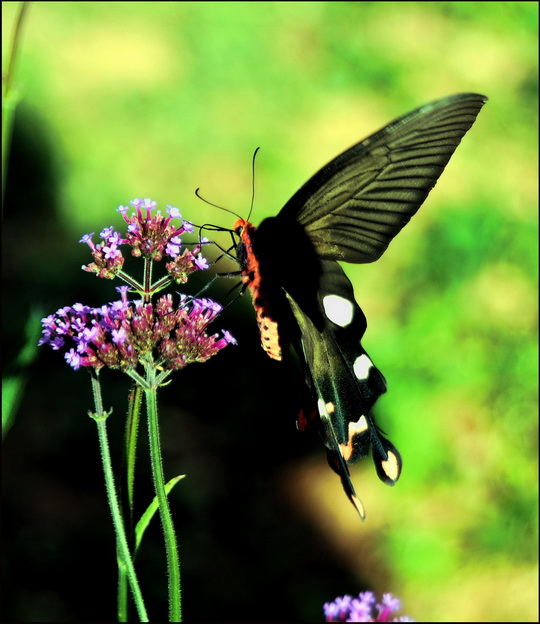 Nong Hoi butterfly - we think it's a Great Windmill, (Parides dasarada)
