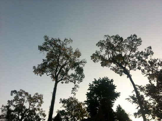 Towering trees at Malee's Nature Lover Bungalows in Chiang Dao.