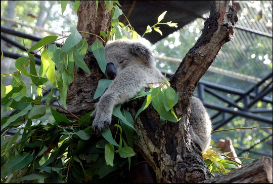 Overdosed on eucalyptus leaves