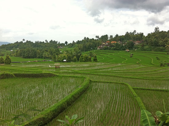 Reaching ricefield saturation point yet?