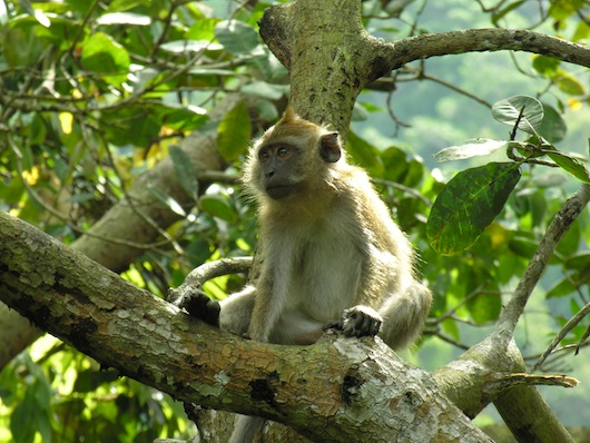 While not exactly rare, Tarutao's common monkeys are always a joy to watch.
