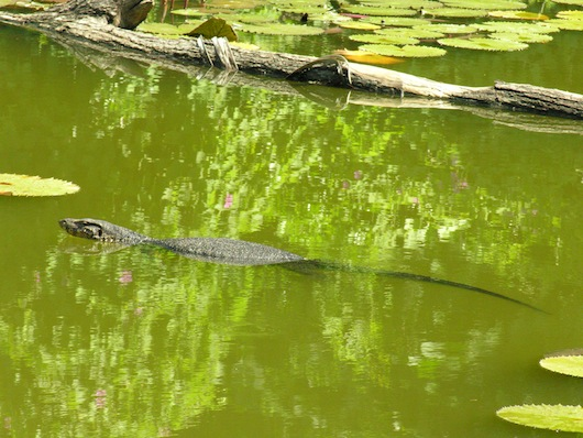 A large monitor lizard swims in an inland lagoon; think I'll stick to swimming in the ocean.