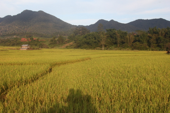 A rare ricefield on arrival in Boun Neua