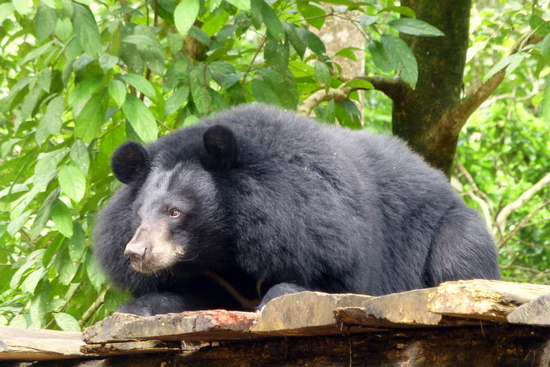 A black bear relaxing at the rescue centre.
