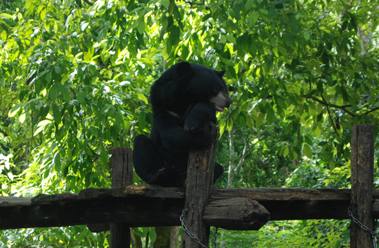 Most bears arrive at the Bear Rescue Centre as cubs after being confiscated from hunters or farmers.