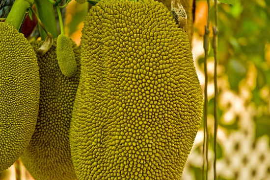 Jack fruit: beautiful, except perhaps in the aftermath