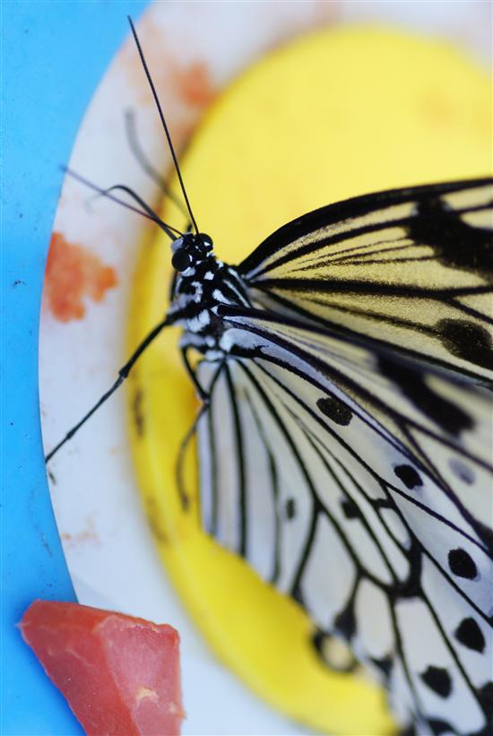 Who knew butterflies like papaya?