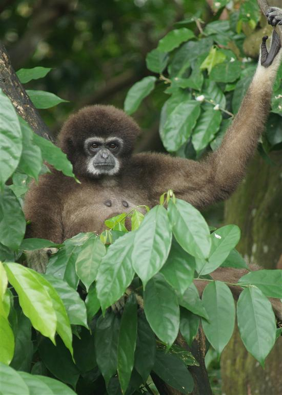 A very serious looking white-handed gibbon.