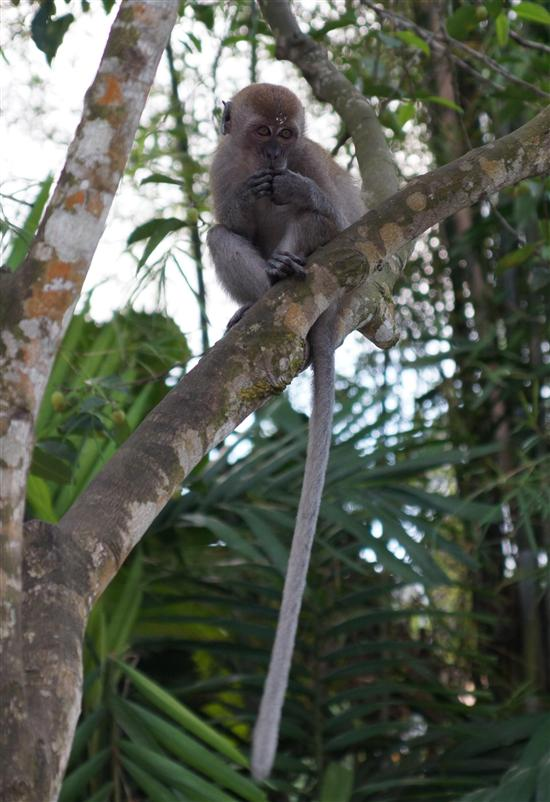 A long-tailed macaque showing off its namesake feature.
