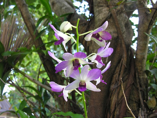 An orchid in the trees at Wat Pa Suthawat.