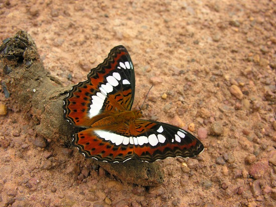 So that's how butterflies stay so pretty -- by eating poop?