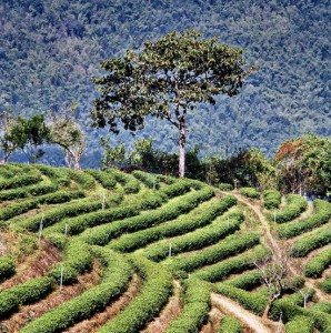 Plantation near Mae Salong - coffee tea are generally cultivated in the same areas
